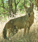 photo: Coyote in Northern California