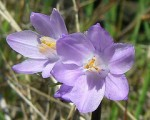photo: Wildflower Scavenger Hunt - Almaden Quicksilver