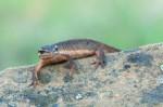 Migrating Newts in Almaden Quicksilver Park